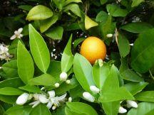 Orangen - Früchte und Blüten an einem Baum