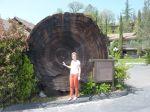 Oakhurst - 2000 Jahre alter Sequoiastamm
