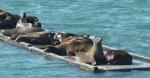 Seelöwen im Hafen von Crescent City