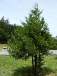 Babay Redwoods