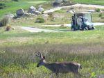 Hirsch auf Golfplatz