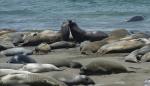 Seeelefanten bei San Simeon
