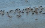 Wattvögel