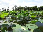 Lake Martin - Lotus