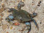 Blaue Krabben findet man überall