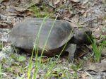 Gopher Turtle