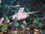 Karrett-Schildkröte
