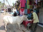 Fütterung einer heiligen Kuh