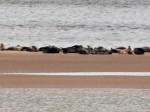 Robben am Tentsmuir Point