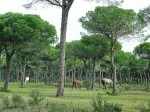 Pferde im Nationalpark Doñana