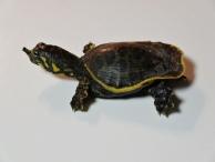 Schildkrötenbaby, Everglades