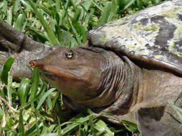 Weichschildkröte, Everglades