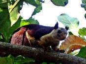Riesenhörnchen, Kerala