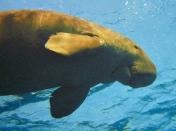 Dugong, Marsa Alam