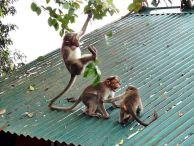 Rhesusaffen, Munnar Indien