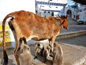 Pushkar, Indien