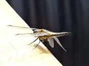 unbekannte gelbe Libelle