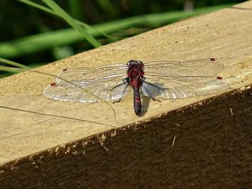 unbekannte schwarz-rote Libelle
